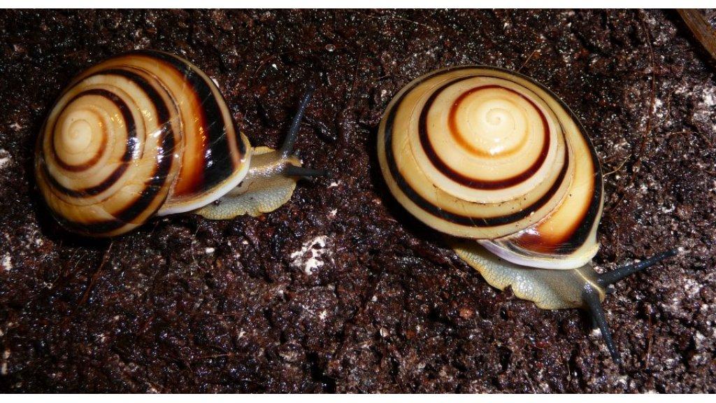 Pleurodonte marginella marginella Cuba