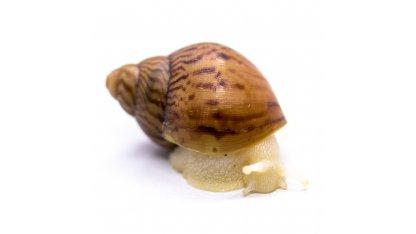 A. achatina achatina Nigeria albino body