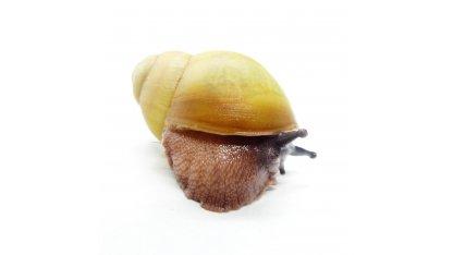 Arch. marginata ovum Nigeria albino shell